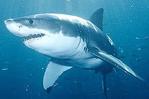 shark-cage-diving-in-mossel-bay